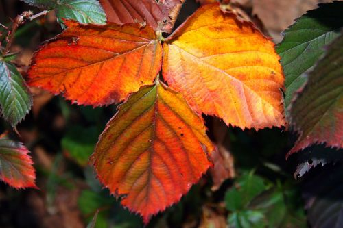 Bramble Leaf In Autumn
