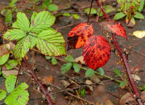 brambles leaves late summer