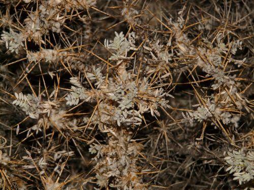 brambles plant prickly