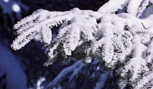branch conifer branch conifer