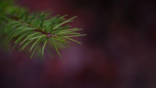 branch conifer show pine branch