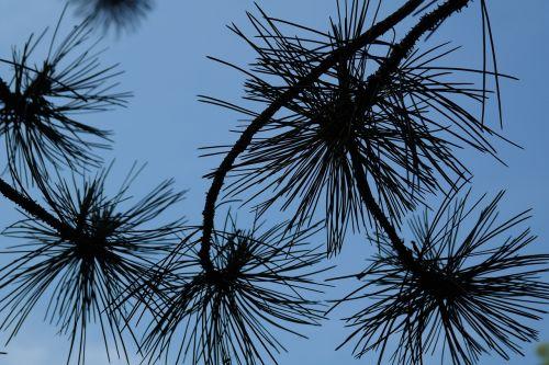branch pine needles needles