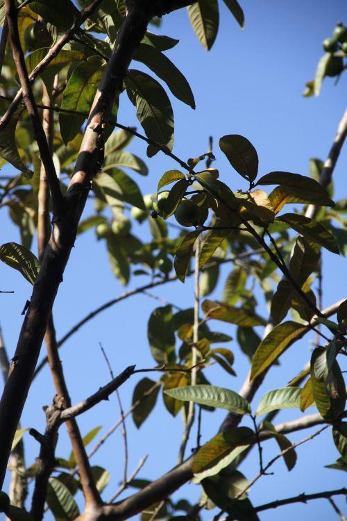 filialas,lapai,filialai,medis,lapai,augalas,gamta,dangus,mėlynas,miškas,miškai,lauke,natūralus,lapija,ruduo,kritimas,sezonas