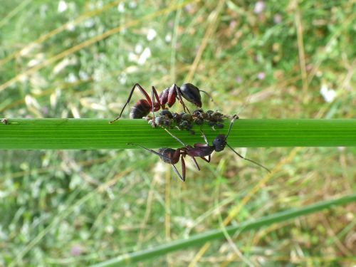 branch ants aphid