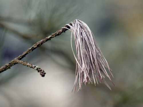 branch pine needles