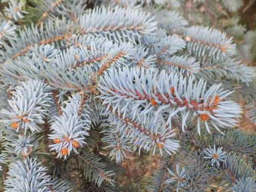 branch blue spruce conifer