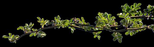 branch  rosebush  leaves