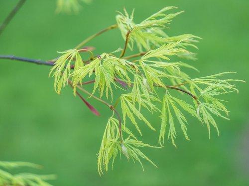 branch  green  slot maple