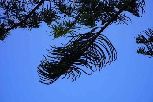 branch tree needles