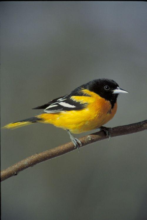 filialas,oriole,baltimore,paukščiai,gyvūnai,fauna