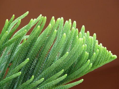 branch needles distinctive