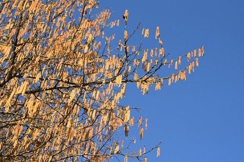 branch hazel  catkins of hazel  tree hazel