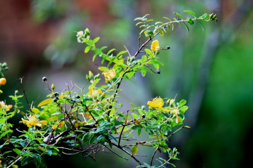 Branch Of Hypericum