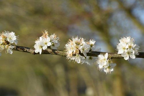 branch shrub flower  white flowers  flower