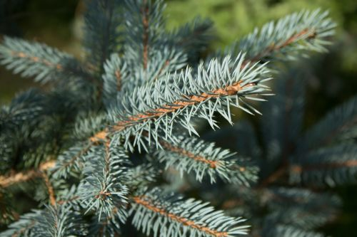 branches evergreen pine