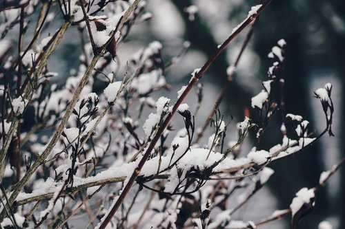 branches  snow  snowy