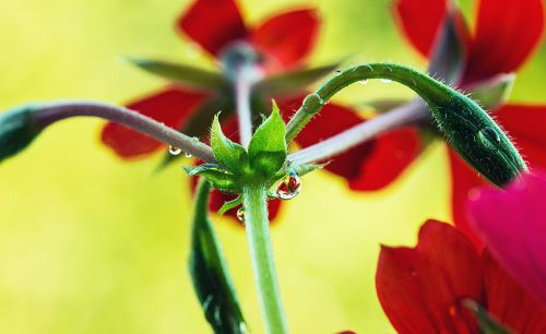 branches of geraniums flower buds closed