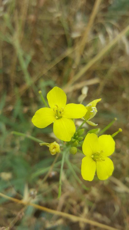 brassica juncea mustard flower ankara mamak