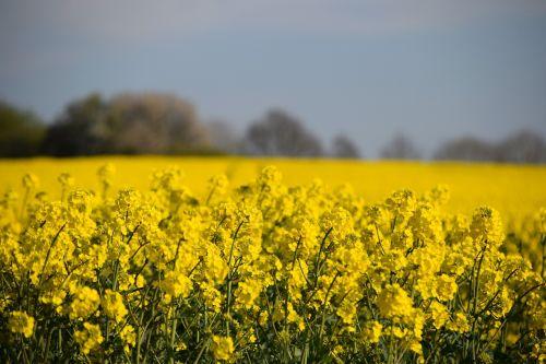 brassica napus oilseed rape reps