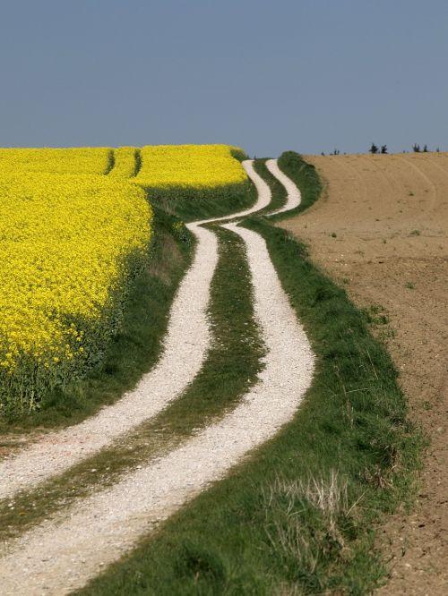 brassica napus field rapsfeld agriculture