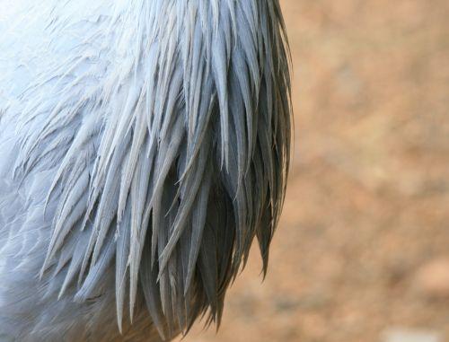 Breast Of Blue Crane
