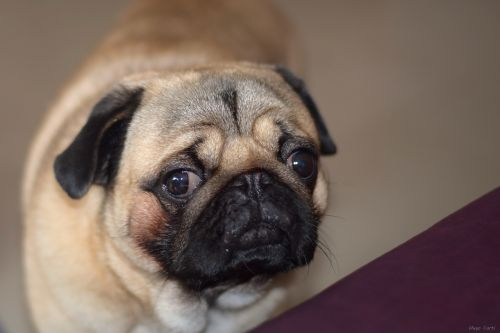 breed pug dogs animals