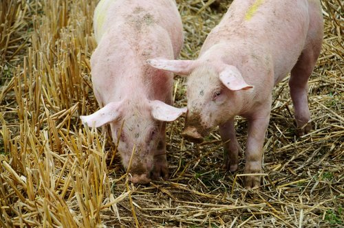 breeding  pig  pork