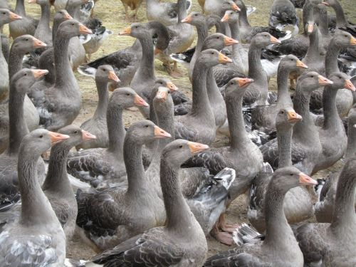breeding geese périgord producer fatty livers of geese