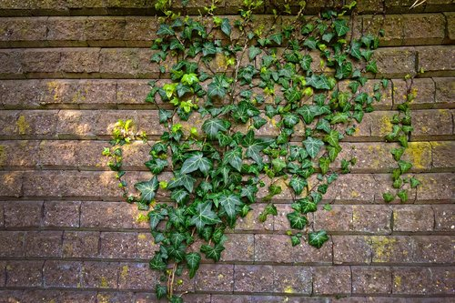 brick wall  wall  ivy