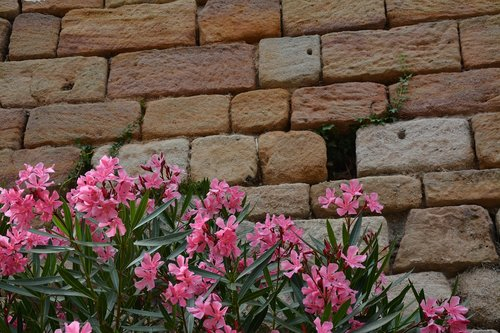 bricks  nerium oleander  flowers
