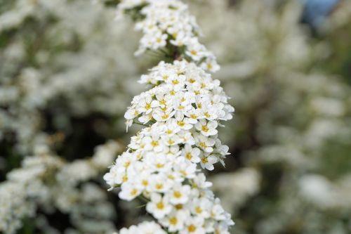 bride spiere flowers white