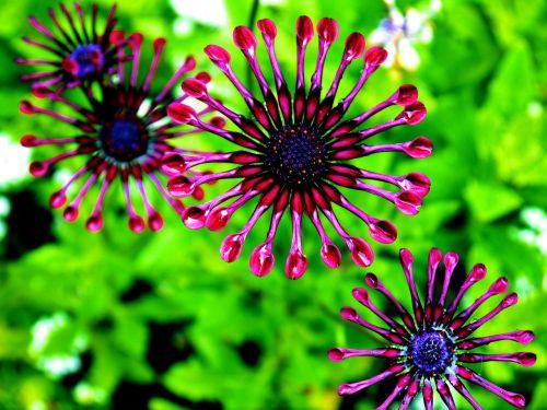 african daisy osteospermum purple daisy