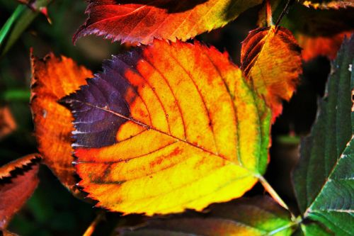 Bright Autumn Bramble Leaf