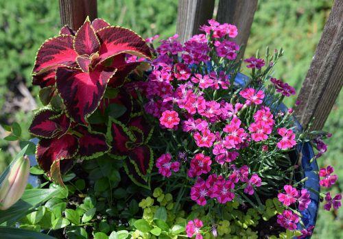 bright flowers coleus carnation