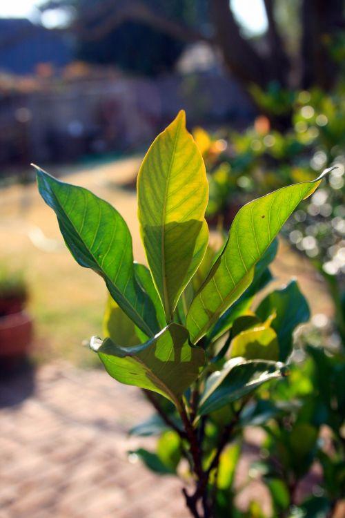 Bright Green Gardenia Leaves