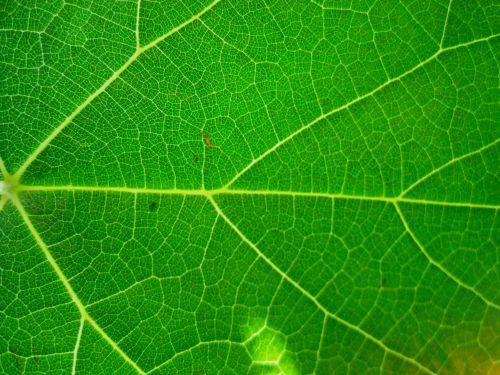 Bright Green Veined Leaf