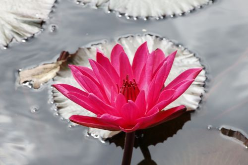 Bright Lily In Pond