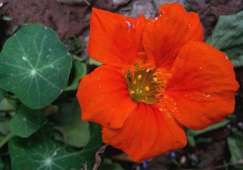 Bright Orange Nasturtium