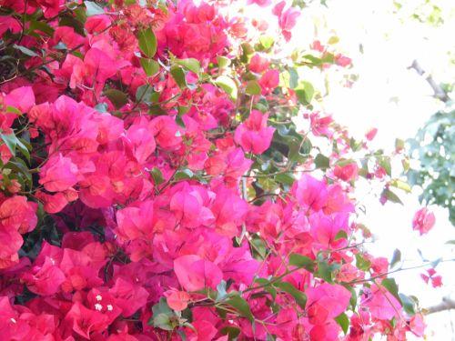 Bright Pink Bougainvillea