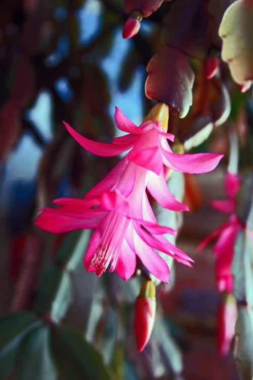 Bright Pink Crab Claw Flower