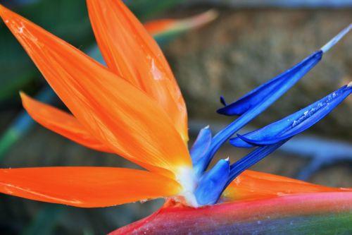 Bright Strelitzia
