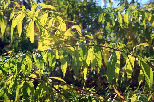 Bright Verbena Leaves