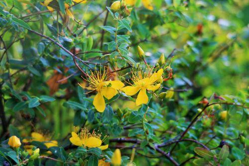 Bright Yellow Hypericum