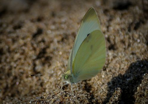 brimstone butterfly butterfly insect