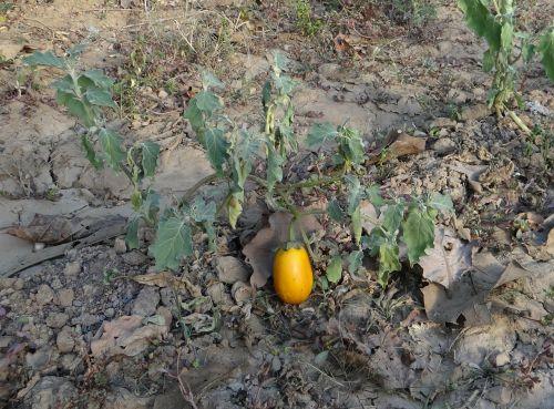 brinjal eggplant ripe