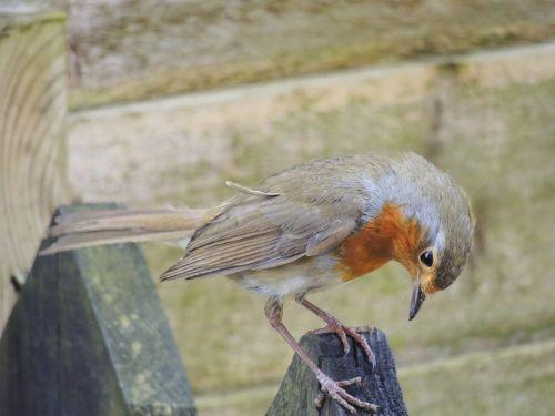 british uk bird