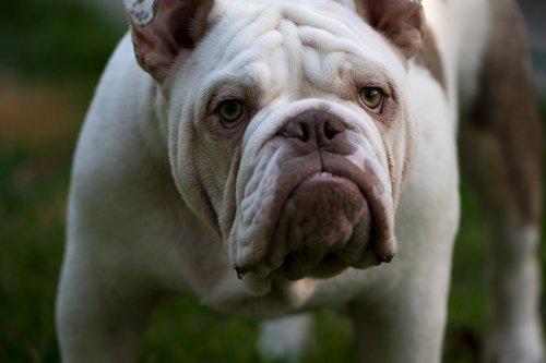 british  british bulldog  mans best friend