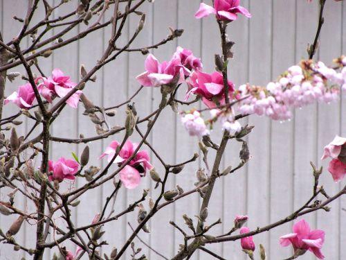 british columbia coquitlam blossom