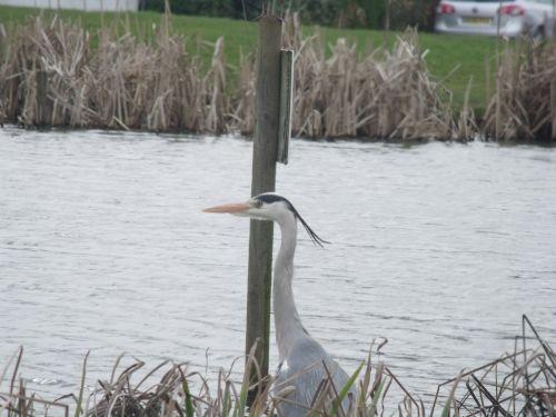 britų & nbsp, sodo & nbsp, paukščiai, pilka & nbsp, heronė, ornitologija, rspb, Britanijos sodo paukščiai - pilka garbė