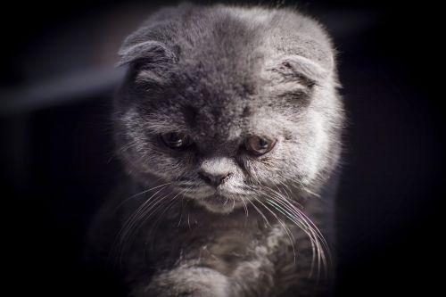 british short folded ears kitten